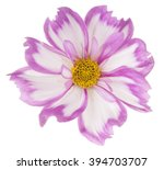 Stock photo studio shot of magenta colored cosmos flower isolated on white background large depth of field 394703707
