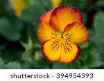 Heartsease's  Golden Red Flowe...