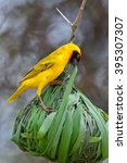 Small photo of The southern masked weaver or African masked weaver (Ploceus velatus) building its nest
