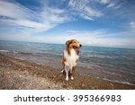 Purebred Rough Collie Dog...