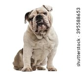Stock photo english bulldog sitting and looking at the camera isolated on white 395588653