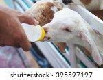 White Baby Goat Against Milk