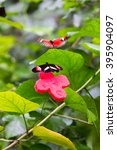 Small photo of two butterflies flit and play each