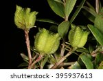 Small photo of Fruit of Buchu (Agathosma crenulata), a popular herbal medicine from South Africa
