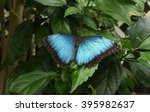 Blue Butterfly Perched On Leaf.
