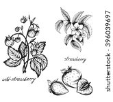 sketch of a strawberry flowers  ... | Shutterstock .eps vector #396039697