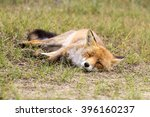 Old Red Fox Vixen Lying On The...