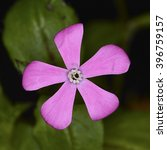 Small photo of Silene, a genus of flowering plants in the family Caryophyllaceae