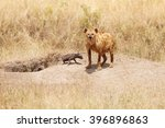 Female Hyena With Two Calves...