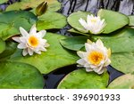 White Water Lily Flowers With...