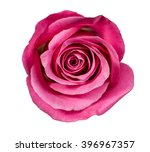 rose close up on white... | Shutterstock . vector #396967357