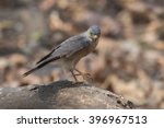 Small photo of Chinese Sparrowhawk (Accipiter soloensis)