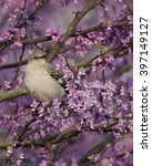 Small photo of Northern Mockingbird In Spring, Perched In Pink Blooming Redbud Tree Branch, Blooms all around.