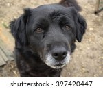 abandoned senior dog  sad old...   Shutterstock . vector #397420447