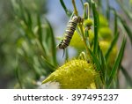 Monarch Caterpillar Amongst...
