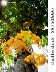 Small photo of The colorful Saraca flowers blooms in the summer season, Thailand
