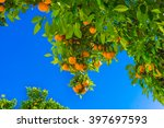 Mandarin Fruits On A Tree. ...
