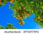 Mandarin Fruits On A Tree. ...