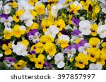 mixed pansies in colorful... | Shutterstock . vector #397857997
