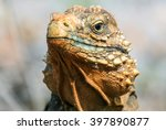 Closeup Of An Iguana On The...