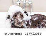 Wet Terrier Crossbreed Dog In...