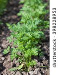 Flat Parsley Growing In Rows I...