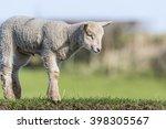 Close Up Of A Young Lamb...