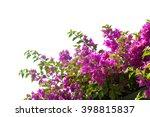 Blooming Bougainvilleas...