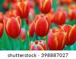 Red Flower Tulips Bud In Blurr...