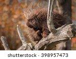 sleepy porcupine  erethizon... | Shutterstock . vector #398957473
