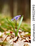 Small photo of Two-leaf squill - first flower of spring