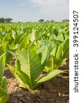 Small photo of Green tobacco field,Tobacco plantation with blue sky background.Agricultural concept.Agricultural background concept.