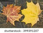 Small photo of Maple leaves(Acer) landscape format,Autumnal maple leaves set against the grain of an old wooden plank