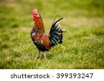 Small Colorful Rooster In The...