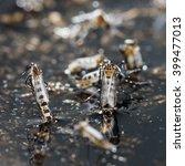 Small photo of Close up newborn aedes albopictus mosquito, pest animal, contagion