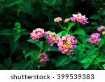 Pink Lantana Flowers Phakakron...