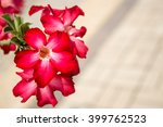 Impala Lily Flowers.  Red...