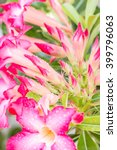 Small photo of Flower buds, Pink Adenium, desert roses, azalea with water droplets, macro.