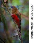 lovely  red headed trogon  ... | Shutterstock . vector #399872827