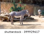 Small photo of Zebra Zebra â?? mammal genus of the horses. Widespread in South-Eastern Africa. Color is typical for zebras, consists of alternating light bands on a dark background.