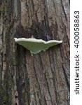 Small photo of Artist's conk fungus (Ganoderma applanatum). Called Artist's bracket also