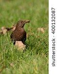 Blackbird   Female With Worms.