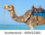 Arabian Camel Close Up