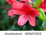Red Rhododendron Blooming ...