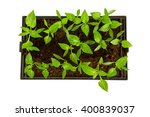 Paprika Seedlings