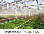 greenhouse with sanvitalia... | Shutterstock . vector #401037427