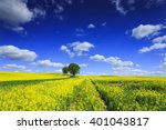 Rape Fields In North Poland. ...
