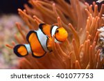 Amphiprion Ocellaris Clownfish...