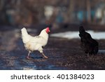 White Chicken Crossing The Dir...