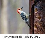 Red Breasted Woodpecker Feedin...